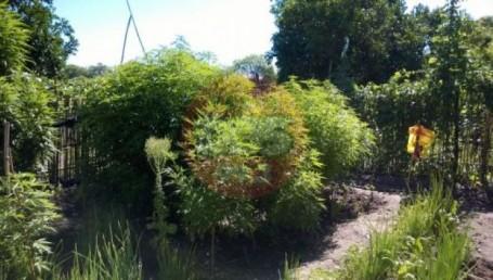 Empedrado: secuestran 32 plantas de marihuana